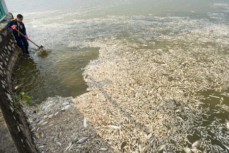 recolector de basura: Hanoi, Vietnam - 2 de octubre de 2016: Masa de peces muertos en el lago con recolector de basura, los trabajadores del medio ambiente tomar la masa de peces muertos de West Lake