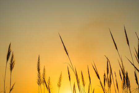 bullrush: Silhouette of reed over sunset sky. Stock Photo