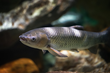 subsea: Amur fish in the big aquarium. Ctenopharyngodon idella Stock Photo