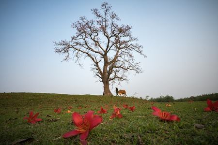 Vietnam countryside landscape with big blooming bombax ceiba tree(red silk cotton tree) and a woman with the cow walking on dyke.