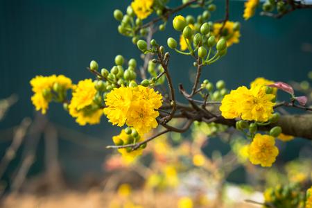 Yellow apricot blossom