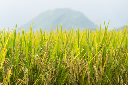 Yellow rice paddy in field ready for harvest. Banque d'images