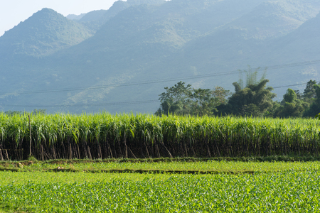 Sugarcane field in Asia Stock Photo
