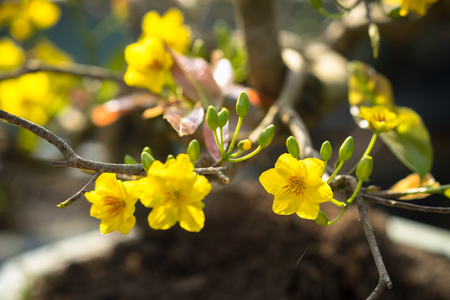 Yellow apricot blossom