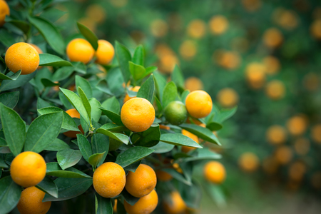 Kumquat tree. Together with Peach blossom tree, Kumquat is one of 2 must have trees in Vietnamese Lunar New Year holiday in north. Reklamní fotografie