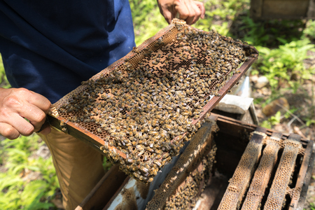 Human kept beehive closeup with man hands. Collecting honey from bee nest