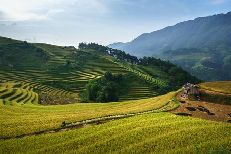 Terraced rice field in harvest season in Mu Cang Chai, Vietnam. 写真素材