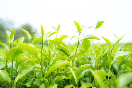 Green tea leaves in a tea plantation in morning Stock Photo