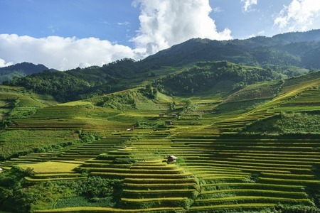 Terraced rice field in harvest season in Mu Cang Chai, Vietnam. Reklamní fotografie