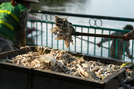 Garbage collector, environment workers take mass dead fishes out from lake