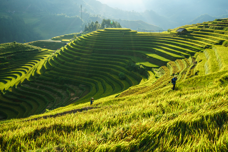 Terraced rice field in harvest season in Mu Cang Chai, Vietnam. Mam Xoi popular travel destination. Banco de Imagens