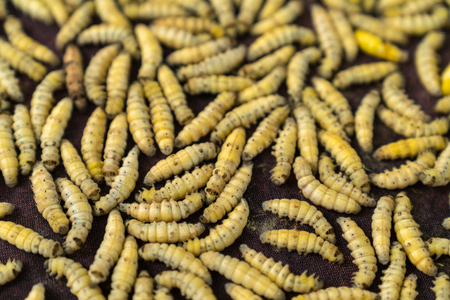 Silkworm a few hours after stop making cocoon. Silk production cycle