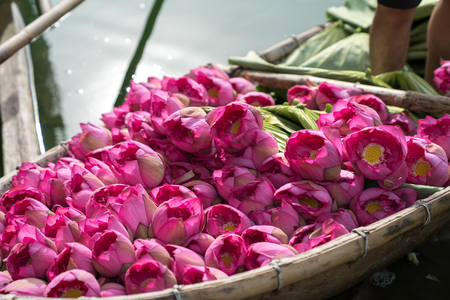Pink lotus on wooden boat, collected from lotus farm plantation in early morning Imagens