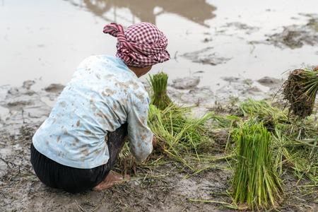 Female farmer working on rice field in Chau Doc, Mekong delta, Vietnam