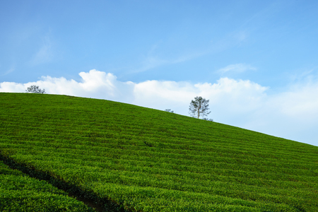 Green tea plantation hills with blue sky on background