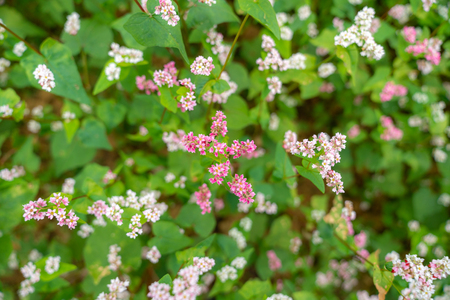 Buckwheat flowers named Tam Giac Mach in Ha Giang, Viet Nam. A famous flower for Dong Van karst plateau global geological park Stock Photo
