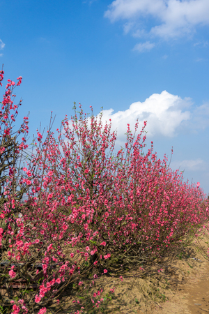Peach flowers in the garden in blossoming time against blue sky and white clouds