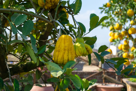 Yellow Organic Buddhas Hand Citrus Fruit with Fingers