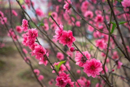 Peach flowers in the garden in blossoming time