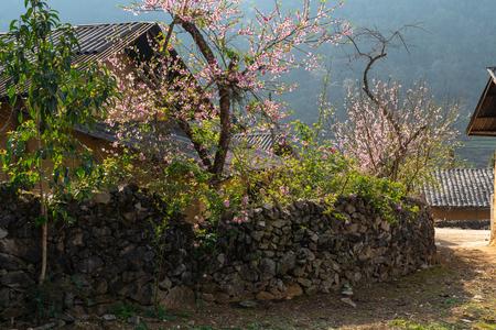 Peach flowers in blossoming spring season in Ha Giang, Vietnam Imagens