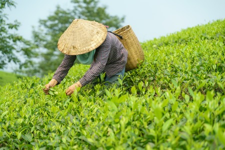 Tea plantation with Vietnamese woman picking tea leaves and buds in early morning Imagens