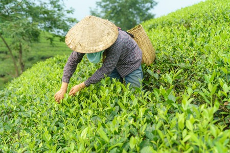 Tea plantation with Vietnamese woman picking tea leaves and buds in early morning Standard-Bild