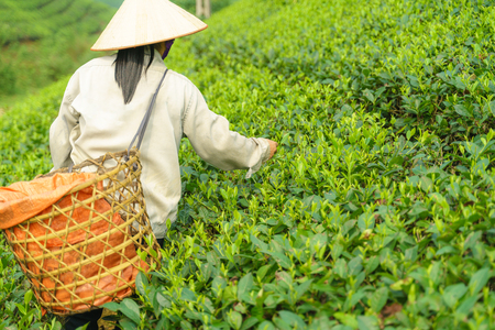 Tea plantation with Vietnamese woman picking tea leaves and buds in early morning
