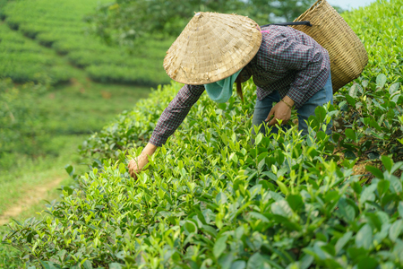 Tea plantation with Vietnamese woman picking tea leaves and buds in early morning 写真素材