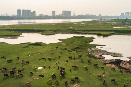 Herd of buffalo grazing next to the Red river, in Hanoi, Vietnam. Hanoi city on background