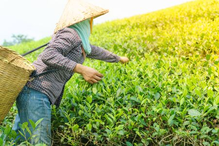 Tea plantation with Vietnamese woman picking tea leaves and buds in early morning Фото со стока