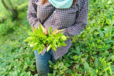 Woman worker hands holding fresh tea leaves in tea plantation