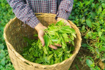 Woman worker hands holding fresh tea leaves over basket in tea plantation