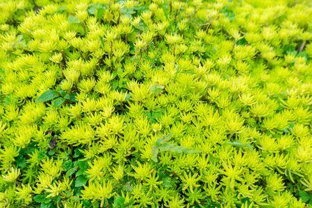 Flaming Katy, sedum sp crassulaceae