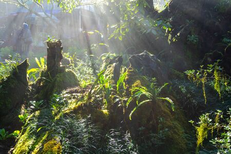 Sunbeams in the misty forest with rock, green leaves