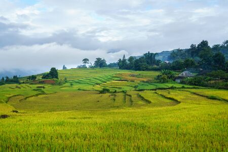 Terraced rice field landscape in harvesting season with low clouds in Y Ty, Bat Xat district, Lao Cai, north Vietnam