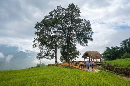 Terraced rice field with big tree landscape of Y Ty, Bat Xat district, Lao Cai, north Vietnam Reklamní fotografie