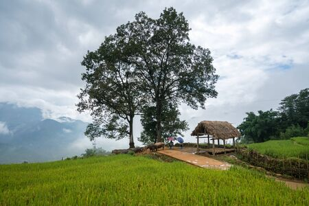 Terraced rice field with big tree landscape of Y Ty, Bat Xat district, Lao Cai, north Vietnam