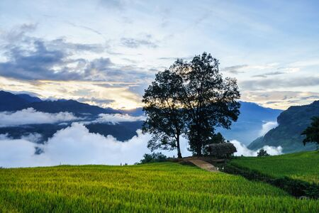 Terraced rice field landscape in harvesting season with big tree and low clouds in Y Ty, Bat Xat district, Lao Cai, north Vietnam