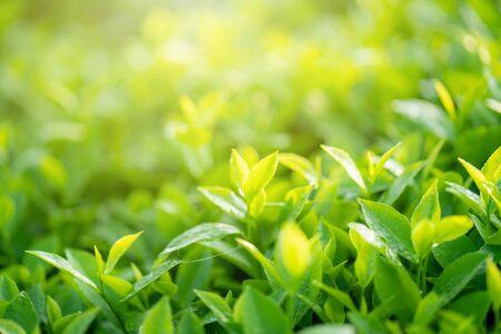 Bourgeons et feuilles de thé vert tôt le matin sur la plantation