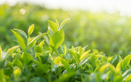 Green tea buds and leaves at early morning on plantation Reklamní fotografie