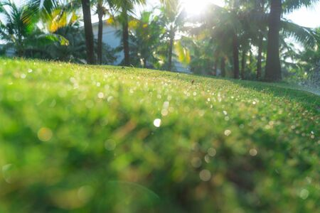Fresh green grass with dew drop bokeh and palm tree background in early morning Imagens