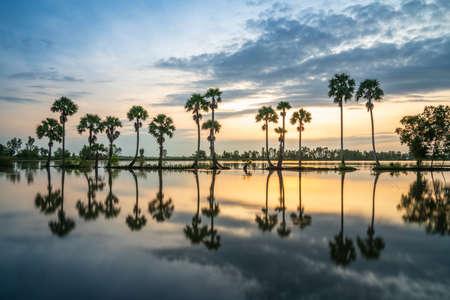 Sunrise landscape in sugar palm tree field in Chau Doc, An Giang, Mekong delta, Vietnam