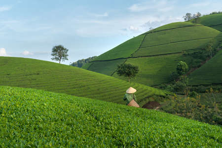 Green tea plantation hills with blue sky on background, with woman worker harvesting tea leaf by hands