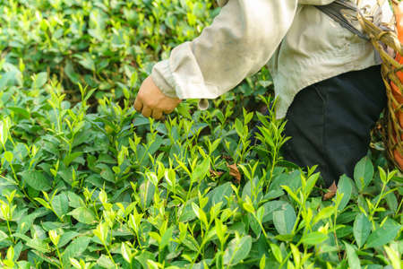 Tea plantation with Vietnamese woman picking tea leaves and buds in early morning Stock Photo