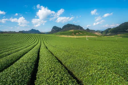 Tea plantation landscape on clear day. Tea farm with blue sky and white clouds.