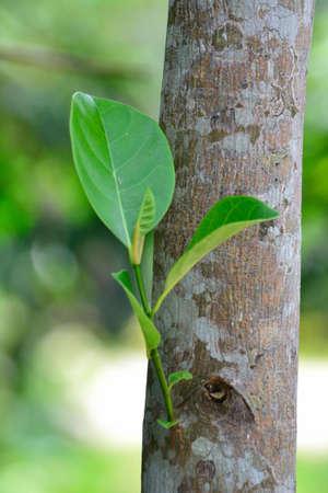 regeneration: Rigenerazione di alberi in Thailandia Archivio Fotografico