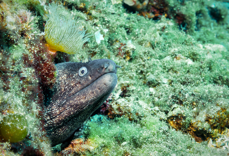 Mediterranean moray eel in the aegean sea coming out from his hiding place Stock Photo