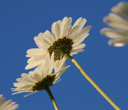 daisys: Daisys and blue sky