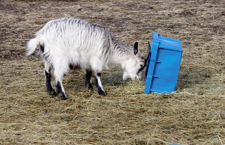 ble: Baby goat eating straw from a blue box