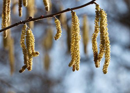 albero nocciola: Primo piano di nocciolo (lat. Corylus avellana) all'inizio della primavera